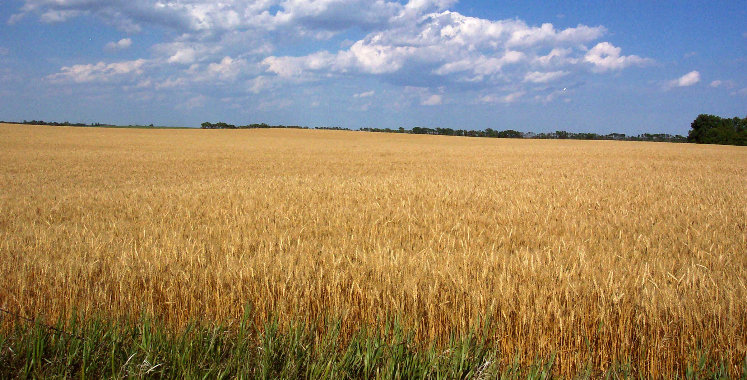 wheatcrop