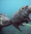 Floating Baby Hippopotamus