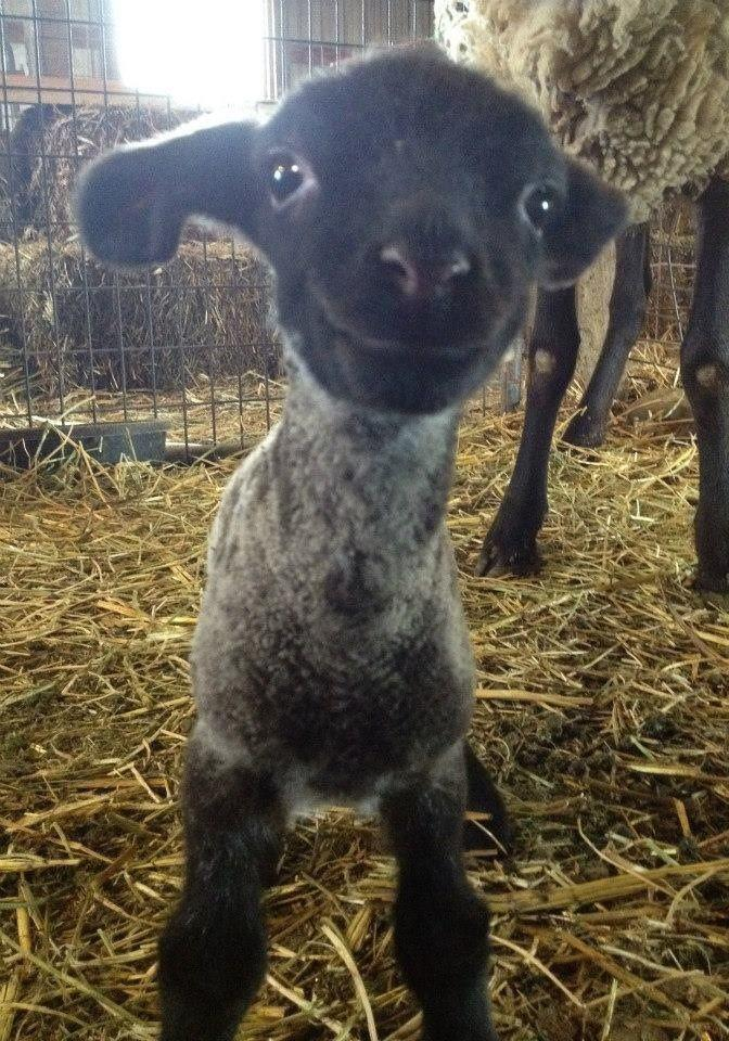 Smiling Little Sheep