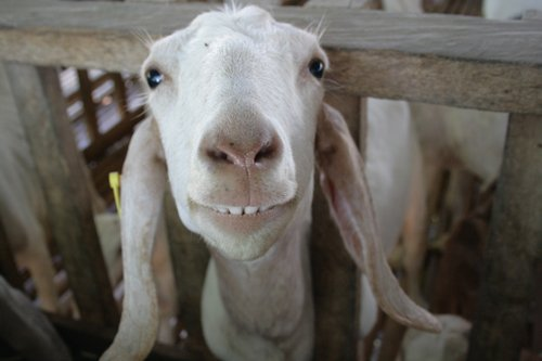 Smiling Goats