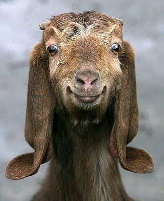 smiling_goat4