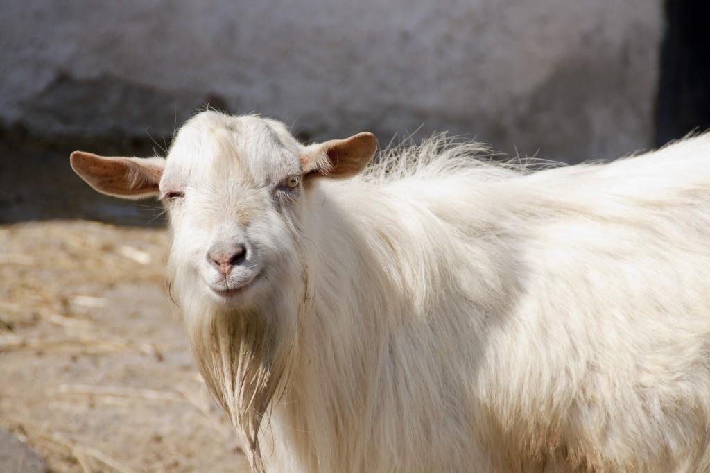 smiling_goat5