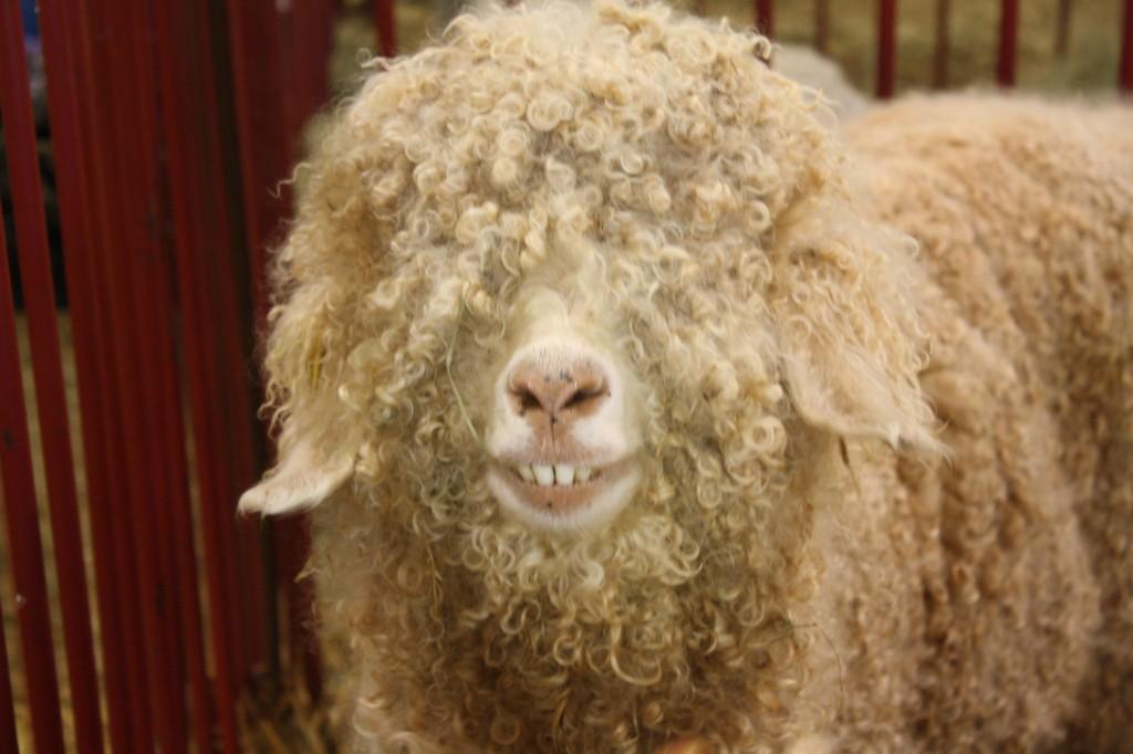 smiling_goat6
