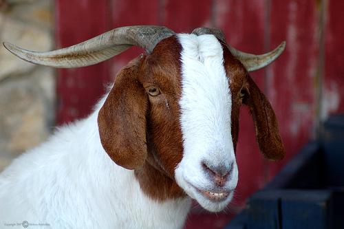 smiling_goat8