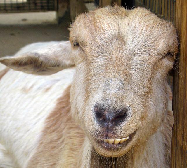 smiling_goats3