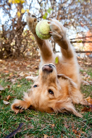 dog playing with ball - bliss