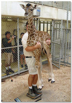 Man Weighing A Baby Giraffe