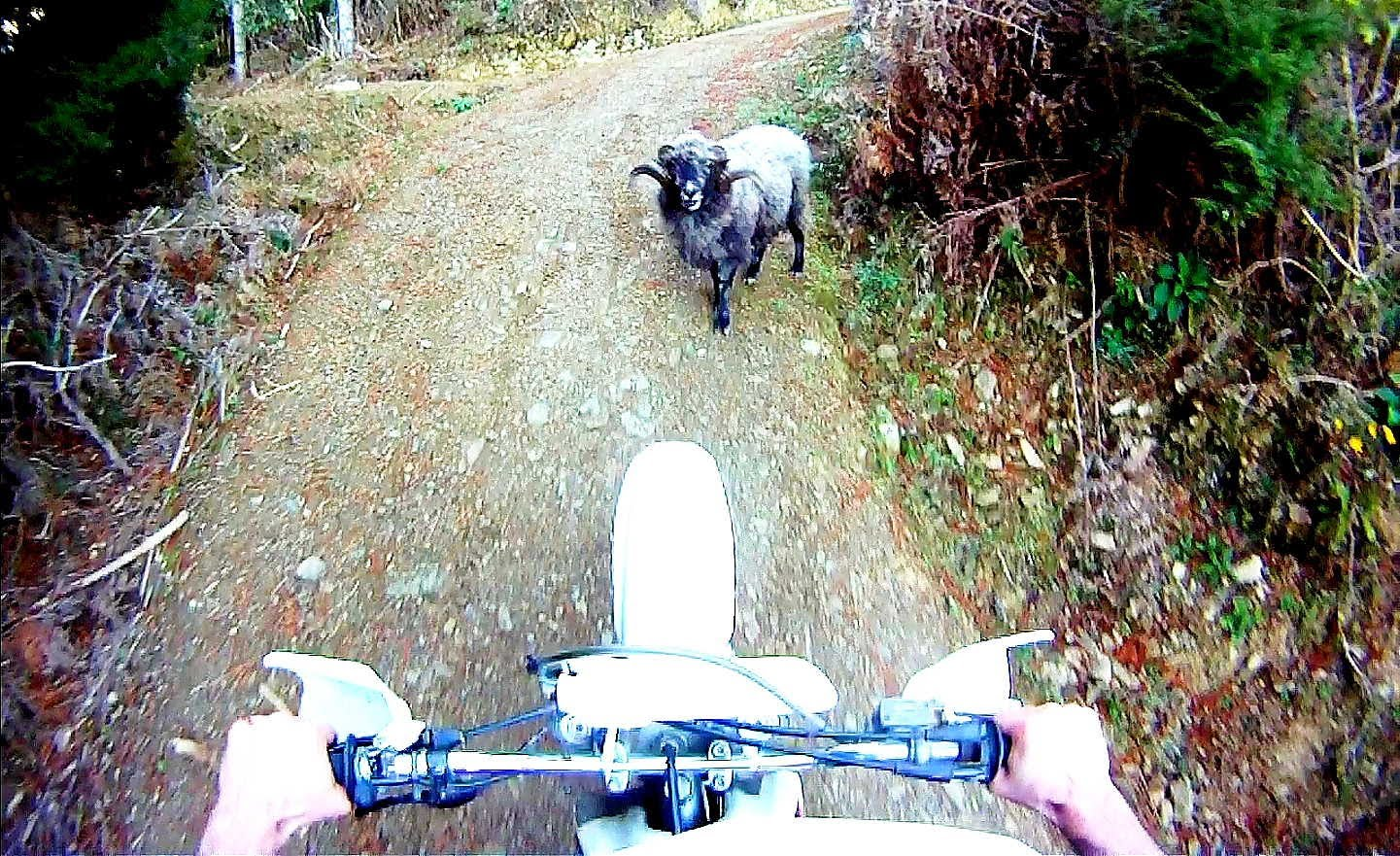 Angry Ram vs Motorcyclist