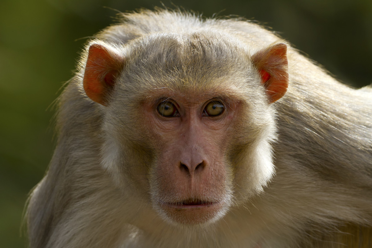 Herpes-infected Monkeys Terrorize Florida