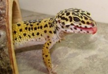 Family Held Hostage By Pet Leopard Gecko