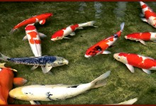 Koi Ponds Provide Hungry Families With Unlimited Fish
