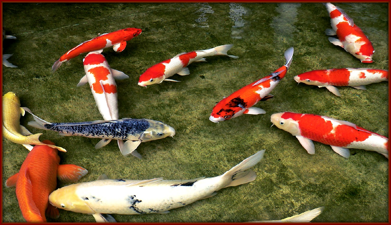 Koi Ponds Provide Hungry Families With Unlimited Fish Fm Observer Fargo Moorhead Satire News