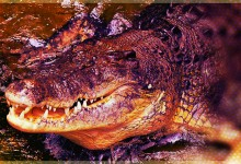 Moorhead Crocodile Charged With Killing Of Defenseless Calf