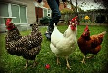 Fargo Leaders Considering Allowing Chicken Fighting