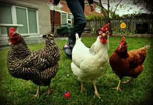 Chicken fighting is more popular that soccer.