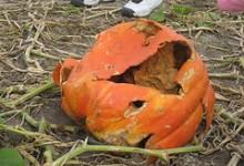 Thirteen Injured at Blind Pumpkin Carving Event