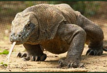 Consider Giving Komodo Dragons For Christmas