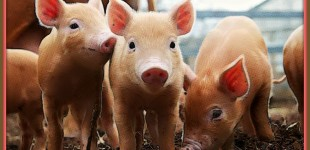 Young Pigs Express Concern Upon Learning Where Bacon Comes From