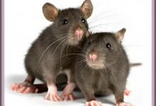 Red River Zoo Adding A Rat Farm!