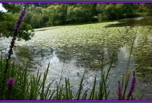 MN Pond Scum Being Sold As Organic Herbal Muck