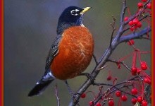 First Fargo Robin Sighting A Sign Of Spring And Global Warming
