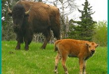 Obama Names NDSU Bison Our National Football Team