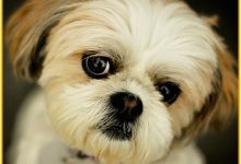 Boy Gets Suspended From Skool For Saying 'Shih Tzu'
