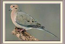 Moorhead Man Who Was Attacked By A Mourning Dove Is Expected To Survive