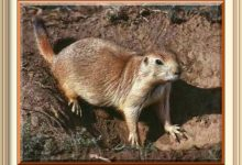Man Chased By Prairie Dog In Western North Dakota