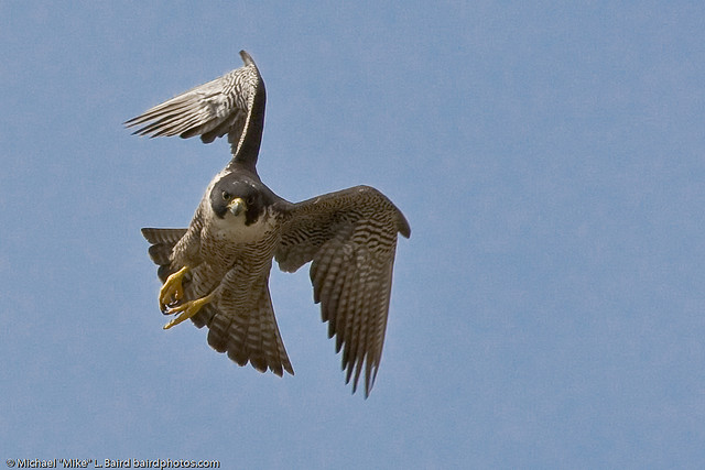 Miracle, A Female Peregrine Falcon Returns To Fargo.  Husband Missing.