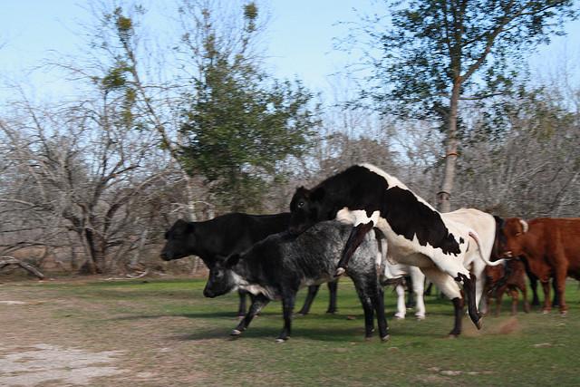 Dirty Cows Distrupt Traffic