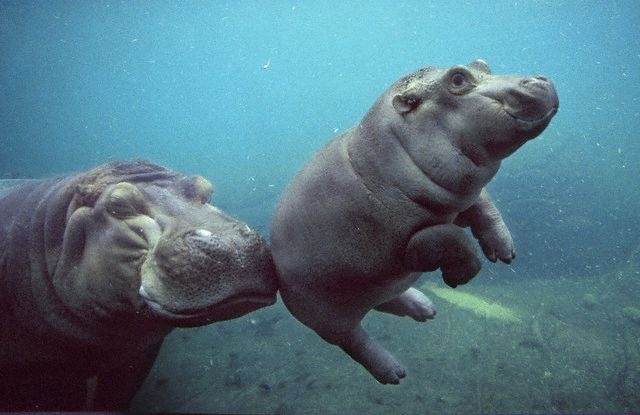 Floating Baby Hippopotamus