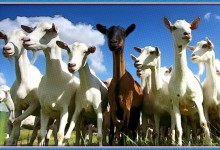 Prejudicial Scapegoating OK Except When It Comes To Goats