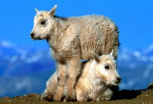 Chinese New Year: Year Of The Sheep