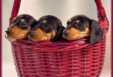 Fargo Man Accused Of Illegally Cloning Dachshunds For Profit
