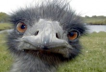 With Turkey Shortage From Bird Flu, Many Opting For Emu On Thanksgiving Table