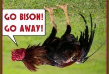 Gamecocks No Match For NDSU Bison Thundering Herd