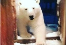 Polar Bear That Enters North Fargo Grocery Store Ends Up In The Canned Meats Aisle