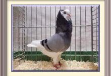 Cooking Corner: How To Cook A Caged Pigeon