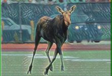 UND Football Team Adds Moose As Running Back To Roster In Effort To Beat The Bison