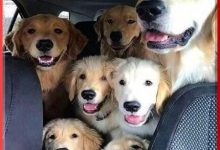 Car Full Of Dogs Pulled Over For Excessive Number Of Lane Changes