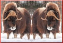 The Great Musk Ox Migration To Come Directly Through The Fargo Area